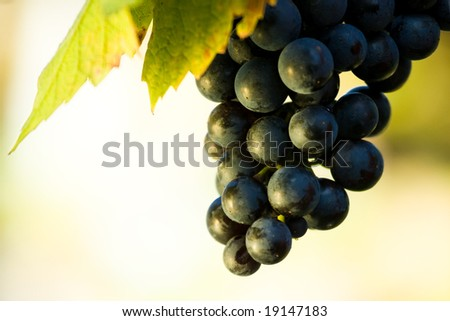 blue grapes in the vineyard - stock photo