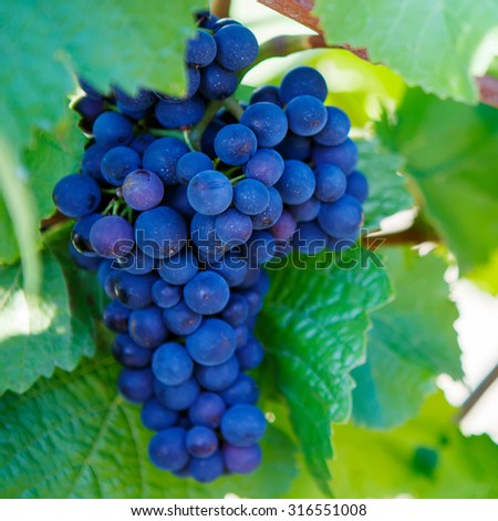 Blue Grapes ready to harvest made by a vintner in an established winery - stock photo