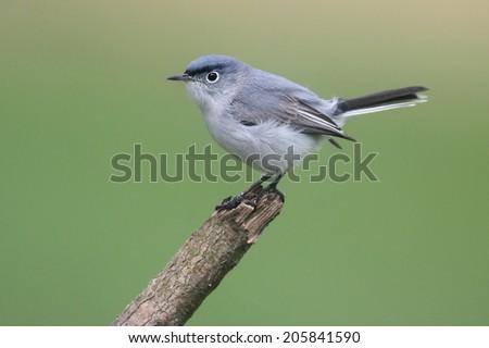 Blue-gray Gnatcatcher (Polioptila caerulea) perched on a branch - stock photo