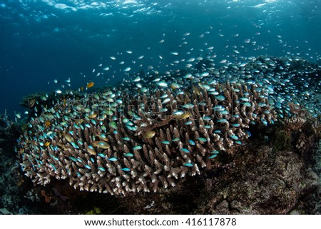 Blue-green damselfish (Chromis viridis) hover above a coral in Raja Ampat, Indonesia. This area is known for its extraordinary marine biodiversity and beautiful coral reefs.