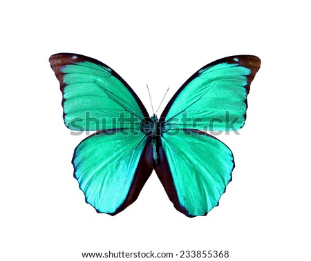 blue green morpho butterfly isolated - stock photo