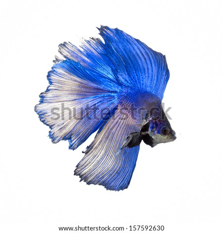 Blue half moon, siamese fighting fish, betta splendens isolated on white background  - stock photo