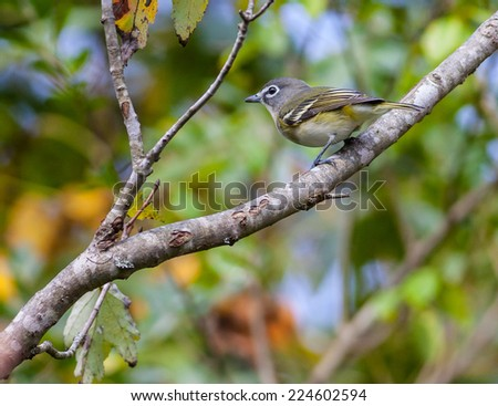 Blue-headed Vireo (Vireo solitarius) - stock photo