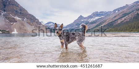 Blue Heeler Dog playing on the shores of Bow lake in the Canadian Rockies, Banff National Park Alberta