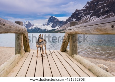 Blue Heeler Dog playing on the shores of Bow lake in the Canadian Rockies, Banff National Park Alberta - stock photo