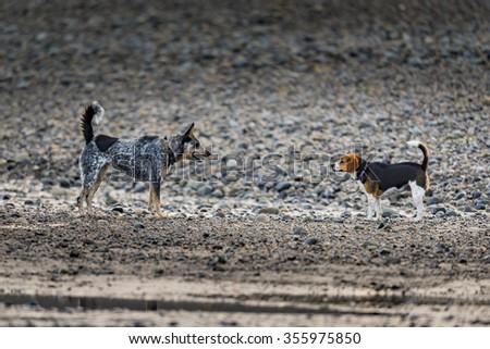 Blue Heeler puppy Beagle playing on the beach, Haida Gwaii - stock photo