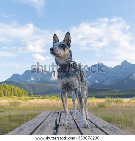 Blue Heeler Puppy hiking in beautiful Kananaskis Country Alberta Canada - stock photo