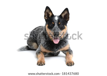 blue heeler puppy laying on white background - stock photo