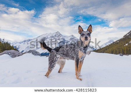 Blue Heeler Puppy playing in the snow in the mountains in winter, Kananaskis Country Alberta Canada
