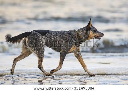 Blue Heeler puppy playing on the beach, Haida Gwaii - stock photo