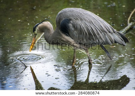 Blue Heron in the pond - stock photo