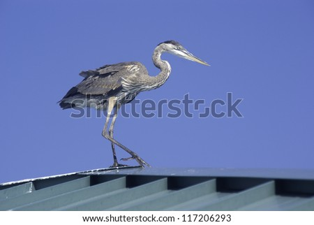 Blue Heron on the roof of a fishing pier.