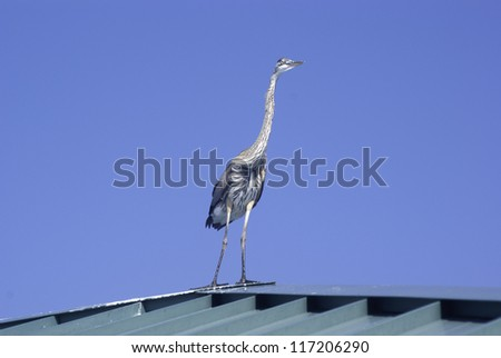Blue Heron standing on the roof of a fishing pier. - stock photo