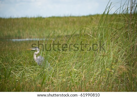 Blue Heron standing still in a swamp - stock photo