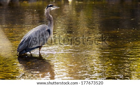 Blue Heron Stands in a Stream - stock photo