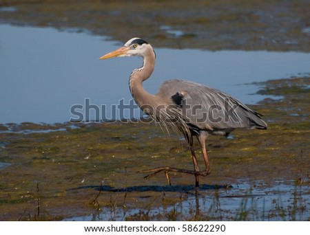 blue heron wading in marsh
