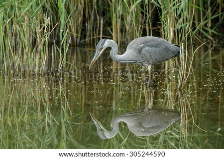 Blue heron with a reflection - stock photo