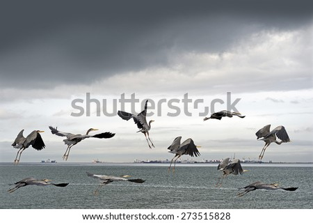 Blue Herons by the sea in Tsawwasswn, British Columbia, Canada - stock photo