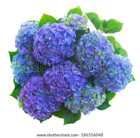 blue hortensia flowers isolated on white background - stock photo