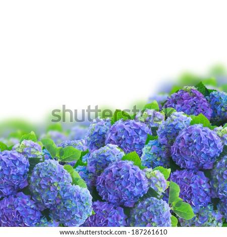 blue hortensia garden  flowers border  isolated on white background - stock photo