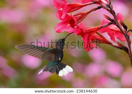 Blue hummingbird Violet Sabrewing near red bloom with pink background in Costa Rica - stock photo