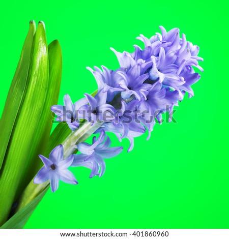 Blue Hyacinth Flower - stock photo