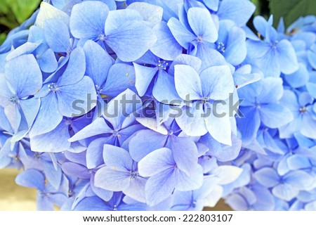 Blue hyacinth flowers