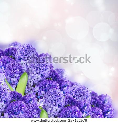 Blue  hyacinth flowers  on fancy bokeh backgrounds - stock photo