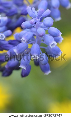 Blue Hyacinth in the background of yellow dandelions