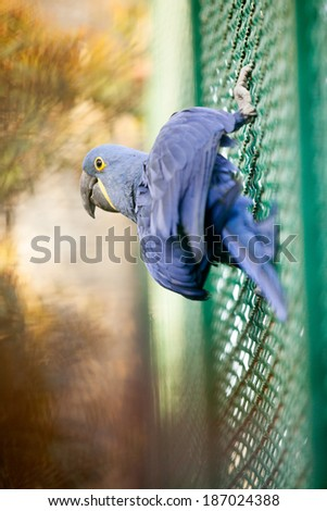 Blue Hyacinth macaw parrot in zoo - stock photo