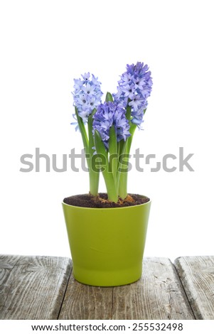 Blue hyacinths in a pot isolated on white background