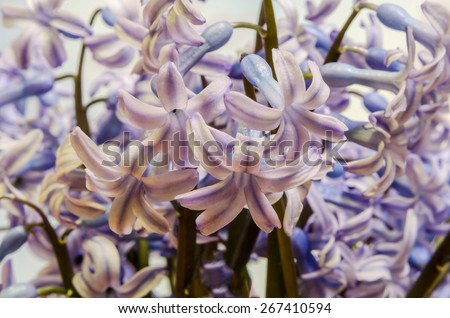 Blue Hyacinthus orientalis flowers (common hyacinth, garden hyacinth or Dutch hyacinth), close up, floral background. - stock photo