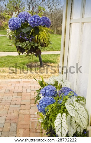 Blue Hydrangea Blooms in Planters - stock photo