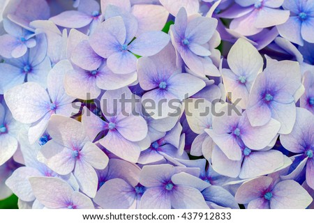 Blue hydrangea flora background.