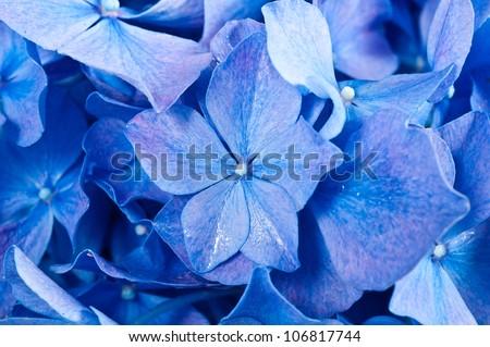 Blue Hydrangea flower. Hydrangea - common names Hydrangea and Hortensia. - stock photo