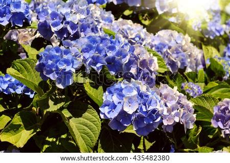 Blue Hydrangea flower (Hydrangea macrophylla) in a garden - stock photo
