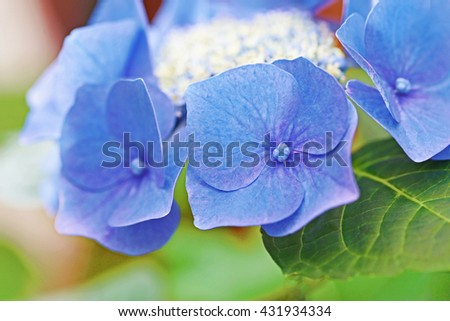 Blue Hydrangea flower ( kids: Blue Sky, Teller Blue ), close up, shalow dof - stock photo