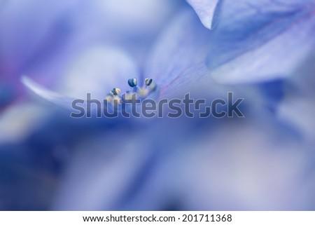 blue hydrangea flower, macro photo - stock photo