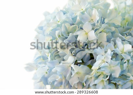 blue hydrangea flower on white background - stock photo