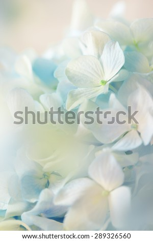 blue hydrangea flower with color effect and solf light - stock photo