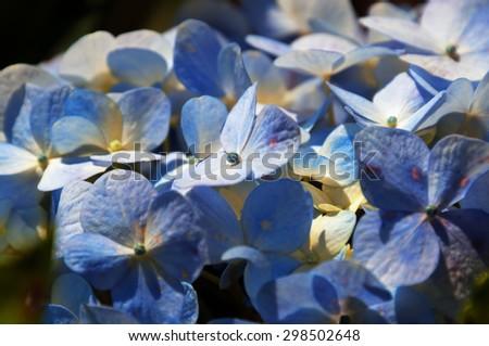 Blue Hydrangea flowers in the garden background texture - stock photo