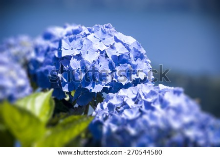 Blue Hydrangea Macro Horizontal Photograph - stock photo