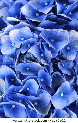 Blue hydrangea texture - stock photo