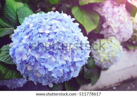 hydrangea stock images royalty free images vectors. Black Bedroom Furniture Sets. Home Design Ideas
