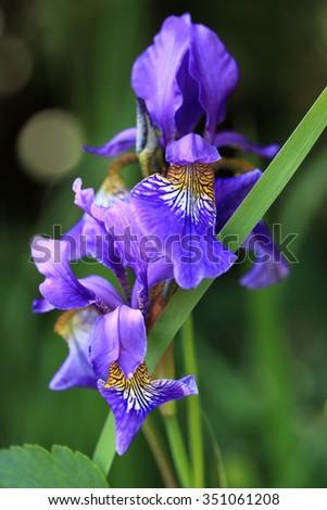 Blue Iris flowers in the garden - stock photo