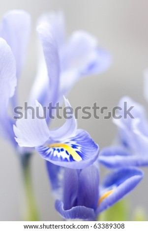 Blue iris flowers on a white background. - stock photo