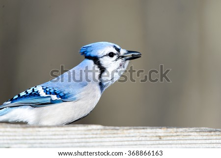 BLUE JAY AT A PLATFORM FEEDER