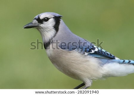 Blue Jay (corvid cyanocitta) with a colorful background - stock photo