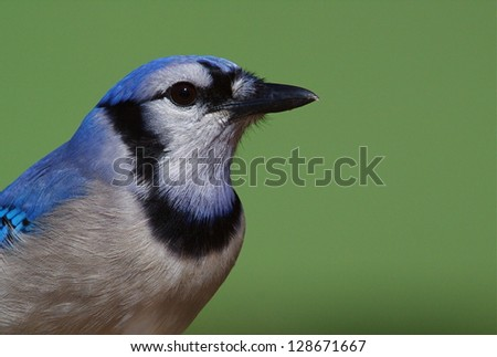 Blue Jay,  cyanocitta cristata, highly detailed portrait isolated against a green background