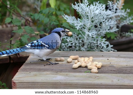 blue jay eating peanuts in the backyard